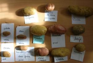 Differentes variétes de pommes de terre